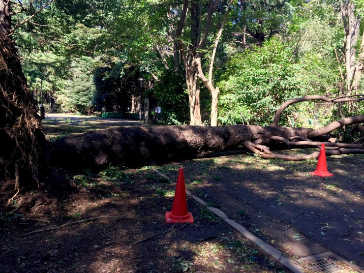 光が丘公園 倒れた木