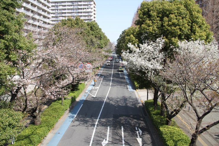 1903桜-光が丘2