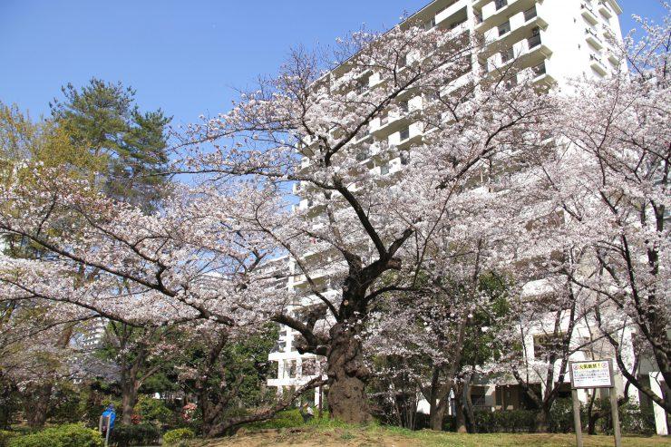 1903桜-光が丘3