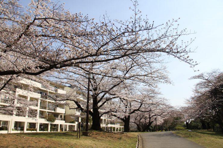 1903桜-光が丘1