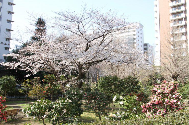 1903桜-光が丘4