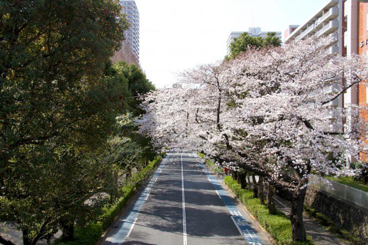 1903桜-光が丘6