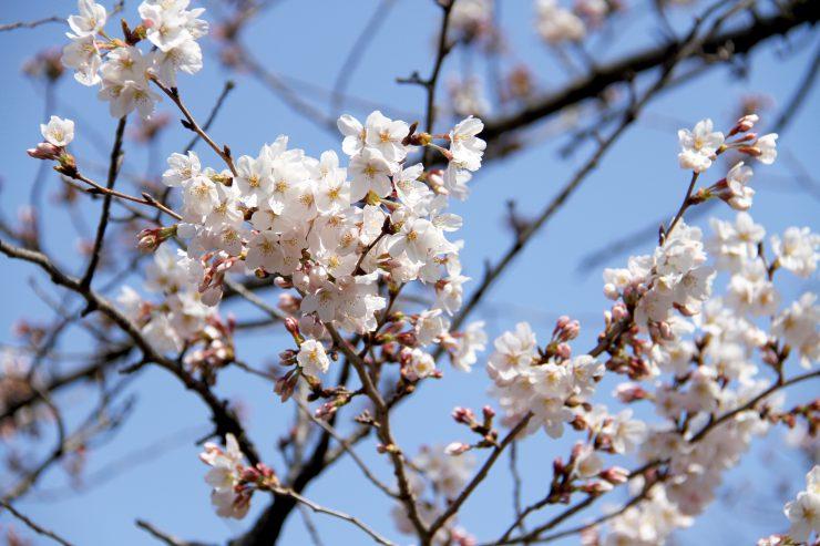 1903桜-光が丘7