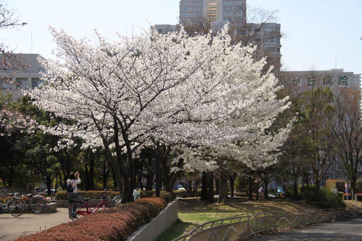 1903桜-光が丘10