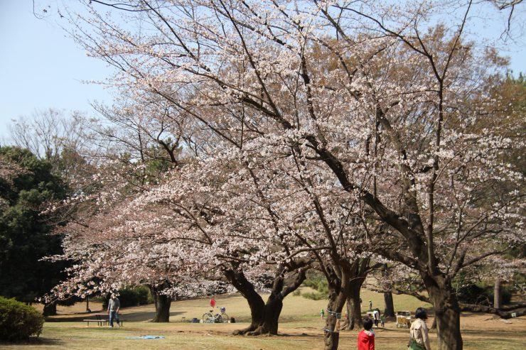 1903桜-光が丘12