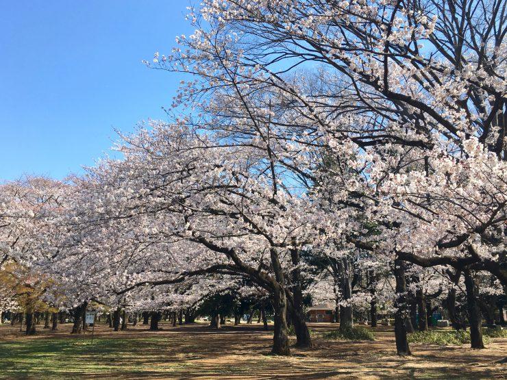 光が丘桜0403-8
