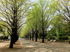 銀杏並木(新緑)